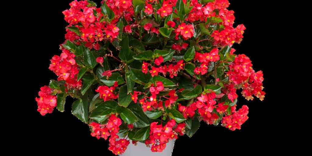 פרח בגוניה